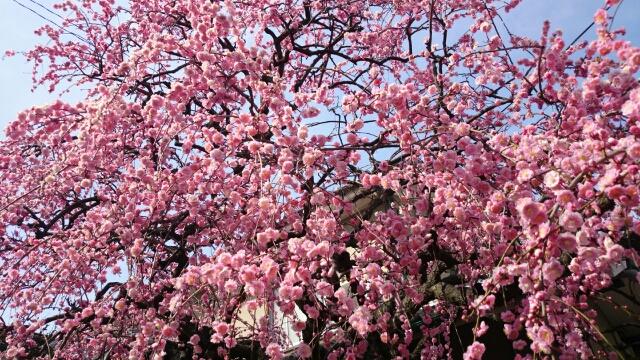 近所の垂れ桜